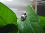 Baumhöhlenkrötenlaubfrösche